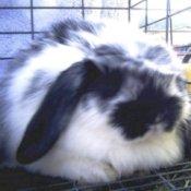 White and Black Fluffy Bynny