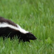 Skunk in the Grass