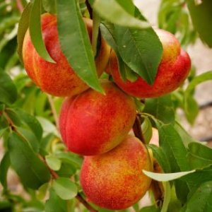 Nectarines growing on a tree.