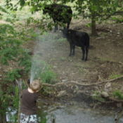 Boy Spraying Water on Cows