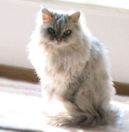 Pretty Persian Cat in Sunlight