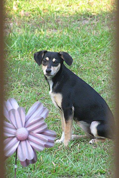 Puppy Posing in Yard
