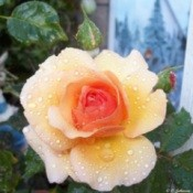 A yellow peach rose with a darker center.