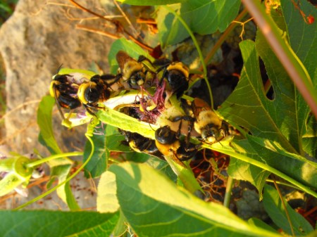 Bees Laying Dormant on Passion Flowers