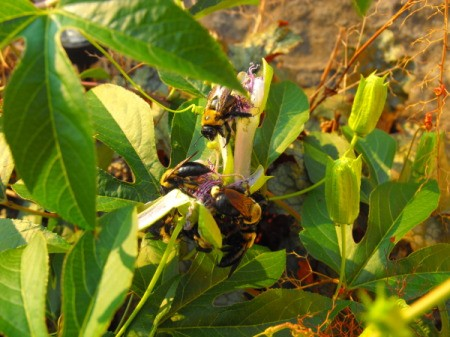 Bees Resting on Passion Flowers