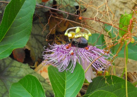 Bee Laying Dormant on Passion Flower