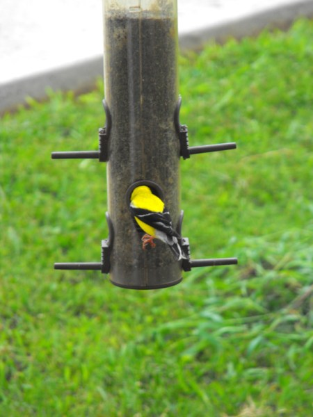 American Goldfinch Eating at Feeder