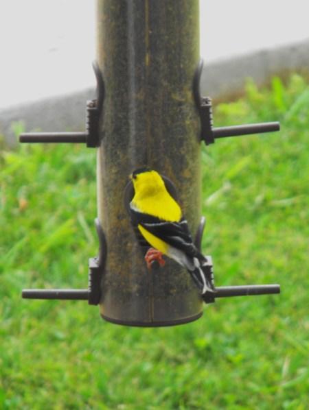 American Goldfinch Feeding at Birdfeeder