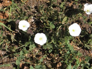 White morning glory like flowers growing on the ground.