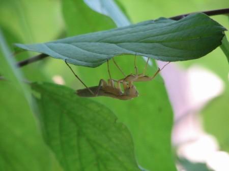 Praying Mantis on Underside of Leaf