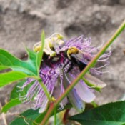 Two Large Bees Laying Dormant on Passion Flower