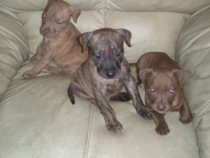 Three Pit Bull puppies on a leather chair.