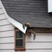 Squirrels going through fascia board into attic.