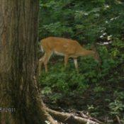 Deer in Park Grazing