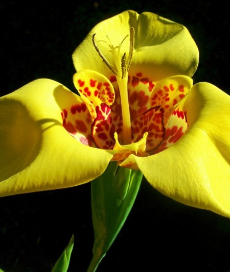 Yellow Iris LIke Flower with Red Spots