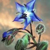 Blue Tarragon Flower