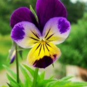 Purple and Yellow Viola Flower