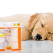 Medication for a sick Golden Retriever puppy.