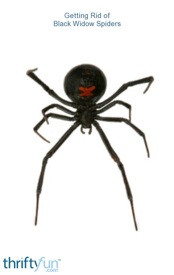black widow spider how to get rid of