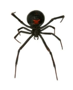underside of Black Widow Spider