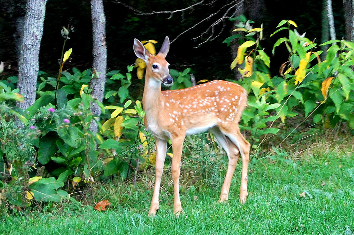 Fawn (Baby Deer) Information and Photos | ThriftyFun