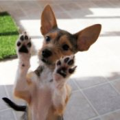 Zoe Chihuahua Terrier Mix