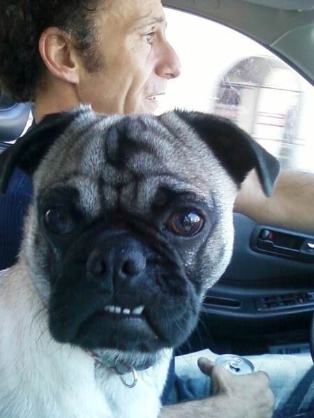 Closeup of Willie the Pug in Car