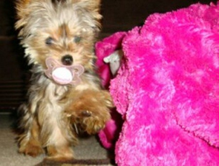Baby the Yorkie by Pink Stuffed Animal