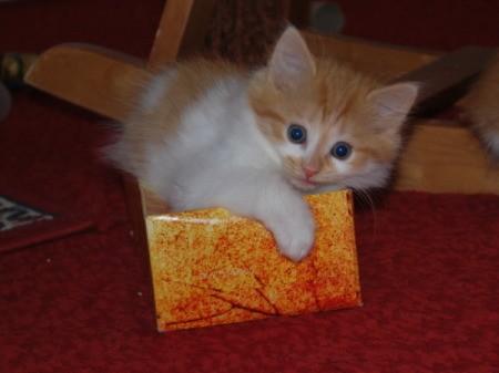 Tasha the Kitten on Top of Tissue Box