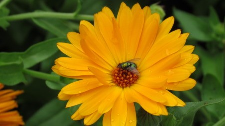 Large Yellow Daisy With Fly in Center