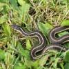 A garter snake in grass.