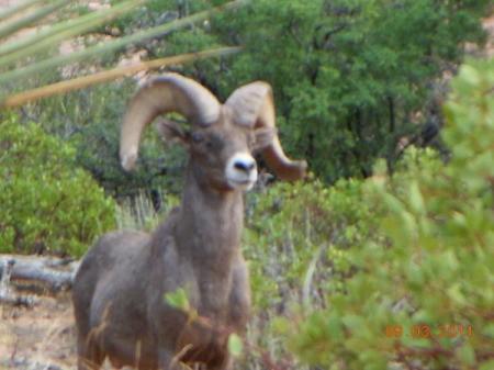 Single Big Horn Sheep