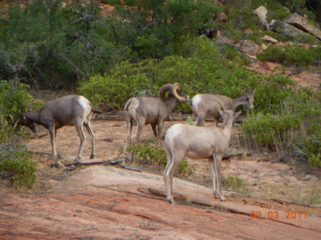 Smal Group of Big Horn Sheep Grazing