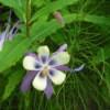 CPurple and White Columbine Flower in Alaska