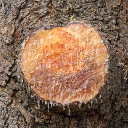 Resultado de imagem para frankincense tree