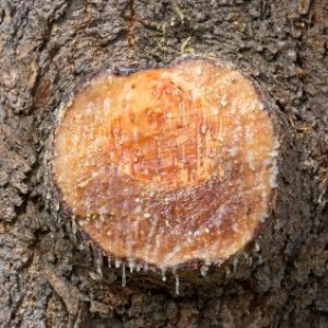 Tree sap coming out of a cut tree.