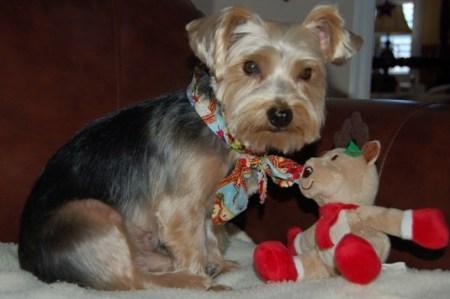 Willie the Yorkie by a Teddy Bear