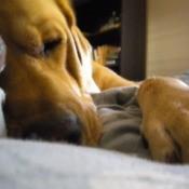 Walter the Dog Sleeping on a Blanket