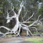 Closer Picture of Dragon Tree