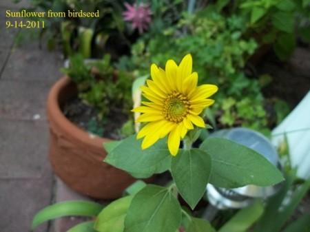 Little Yellow Sunflower