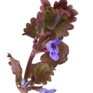 Closeup of blue flowering creeping charlie.
