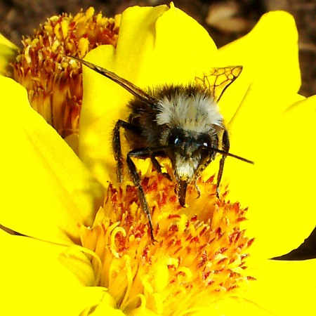 Bumble Bee in Large Yellow Flower