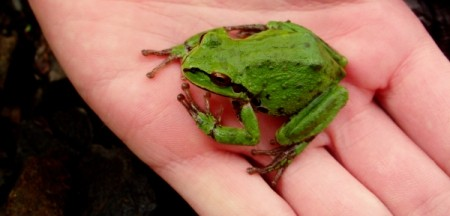 Green Frog Being Held in Hand