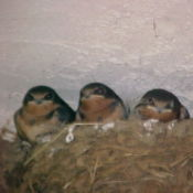 Three Baby Mud Swallows in Nest
