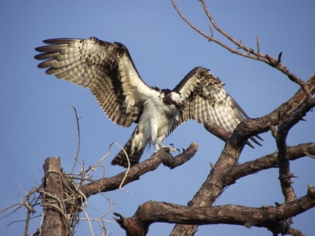 Osprey Landing in A Tree