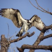 Osprey Landing in A Tree
