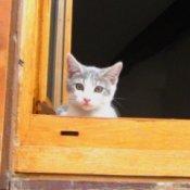 Kitten in Window looking out From Orange Wooden Shutters