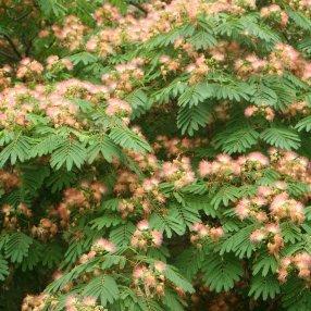 Up close photo of a Mimosa tree.