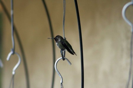 Black and Grey Hummingbird Sitting on a Hook