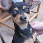 Close up of Buddy the Minpin Chihuahua Mix